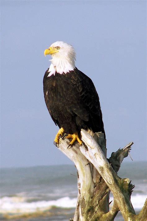 eagle wiktionary