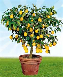 Kitchen Borders Ideas lemon tree tipico toscano bakker com