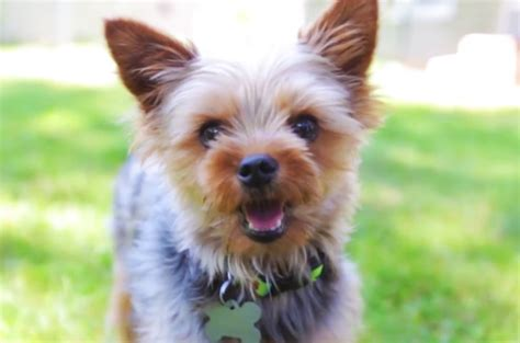 yorkie 911 rescue dogs available for adoption on island at shore animal league sweetest