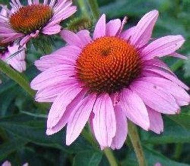 fiori perenni pieno sole le piante erbacee perenni speciali