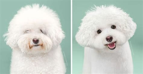 before and after haircuts for dogs 9 dogs adorable transformation before and after having a