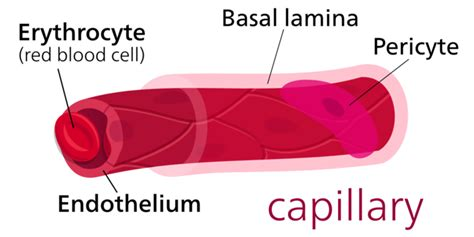 diagram of a capillary arteries boundless anatomy and physiology