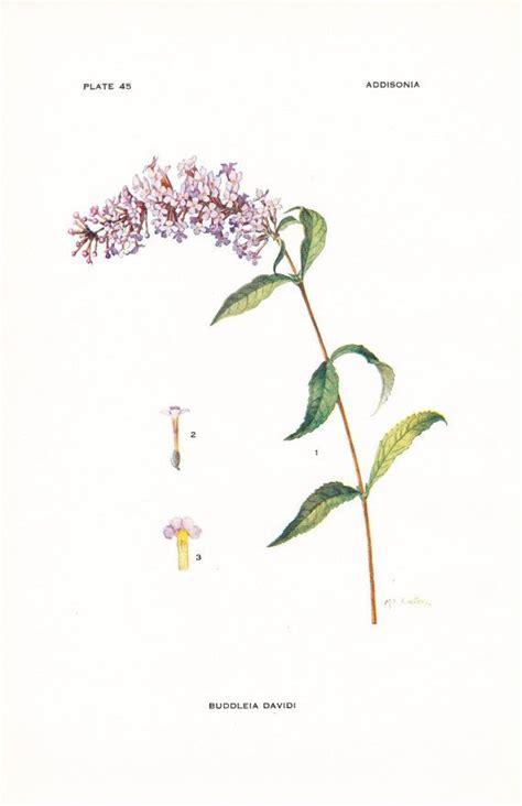 1917 botany print buddleia davidi summer lilac