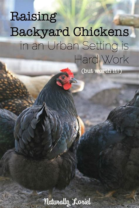 backyard poultry raising best 20 urban setting ideas on pinterest urban family