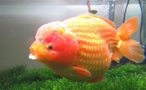 Pakan Ikan Koki Mutiara penyakit ikan koki dan cara mengatasinya aneka info unik