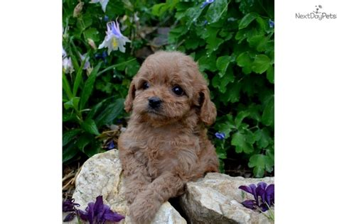 cavapoo puppies for sale in va louise cavapoo puppy for sale near charlottesville virginia 1b4825e1 bec1