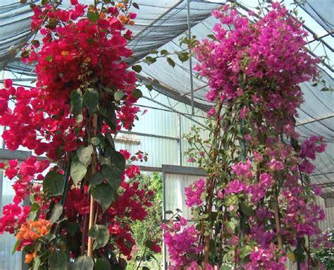 bouganville in vaso piante da vaso bougainvillea bouganville buganvillea