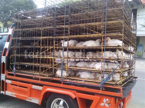 Bibit Ayam Boiler Terbaru harga bibit ayam pedaging broiler ternakpedia