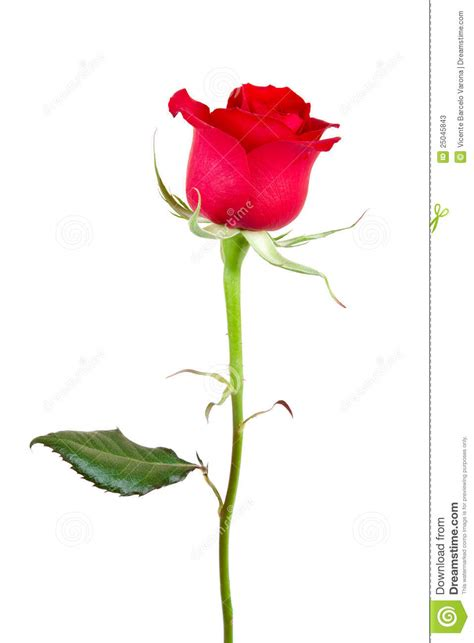 Rose Flower Images by Beautiful Rose Stock Photos Image 25045843