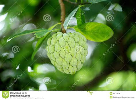 custard apple fruit tree custard apple tree clipart www imgkid the image