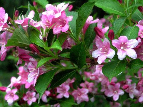 weigela indiana flowering shrubs pinterest