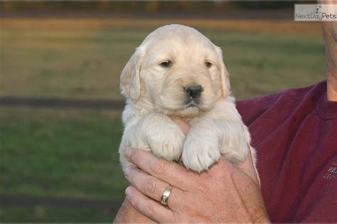 golden retriever puppies for sale in southern illinois golden retriever puppy for sale near southern illinois illinois 088221d3 6d31