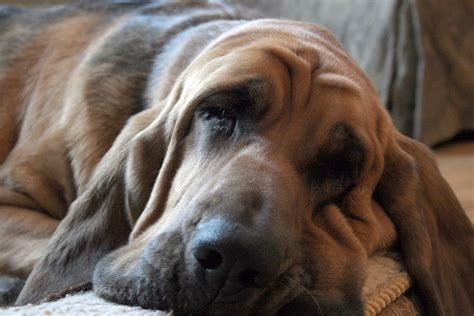 Bloodhound Shedding by Bloodhound History Personality Appearance Health And Pictures