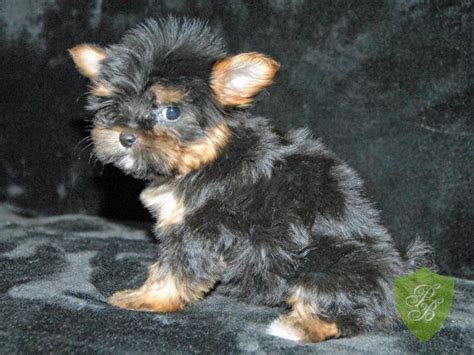 yorkie breeders colorado top 25 ideas about my puppies on teacup yorkie puppys and colorado