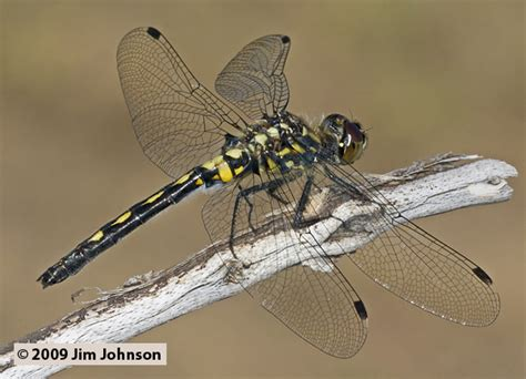 photos of the dragonfly leucorrhinia proxima belted