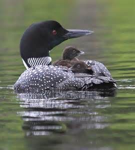 Out of the blue: the Common Loon | followmybrushmarks