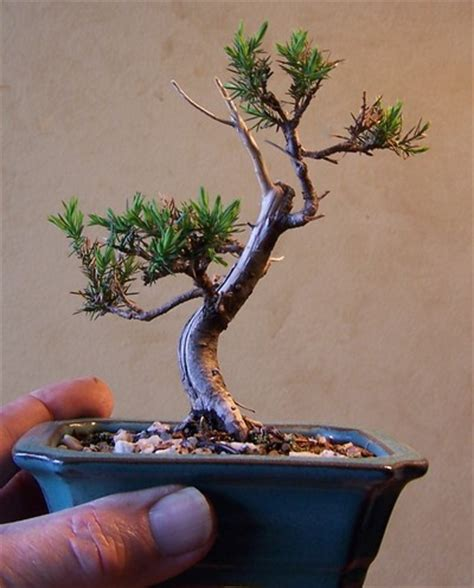 western red cedar bonsai www pixshark com images