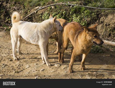 animal big dogs mating mating image photo free trial bigstock