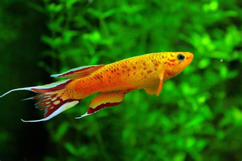 freshwater fish freshwater aquarium exotic fish aquarium design ideas