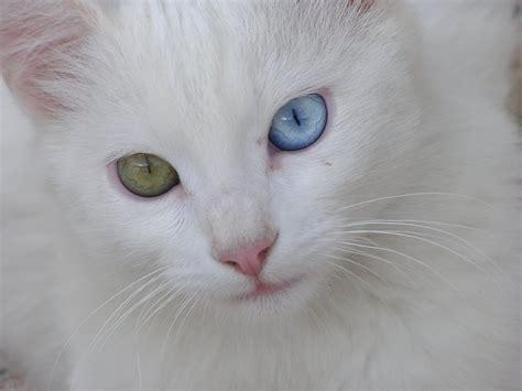 imagenes ojos blancos heterocrom 205 a en un gato clinica veterinaria picasso