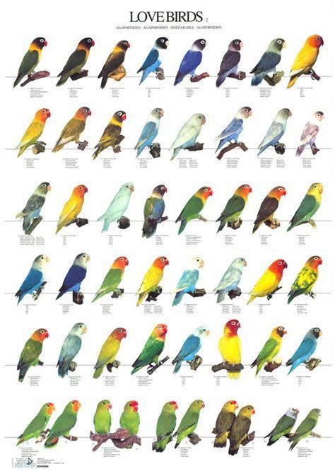 lovebird colors attachment php 683 215 960 birds bird pet
