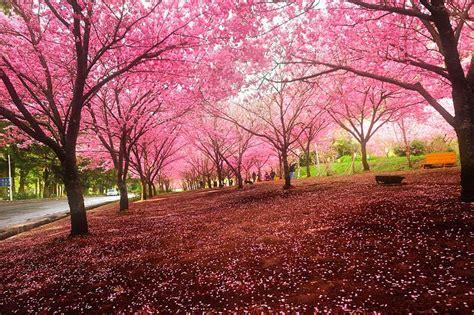 imagenes de sakura japon 世界で最も美しい桜の景色 2 人民網日本語版 人民日報
