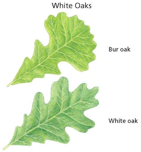 City Of Ramsey White Oak Leaf