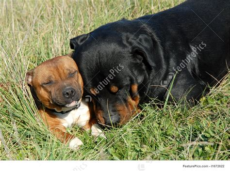 rottweiler and rottweiler and staffordshire picture