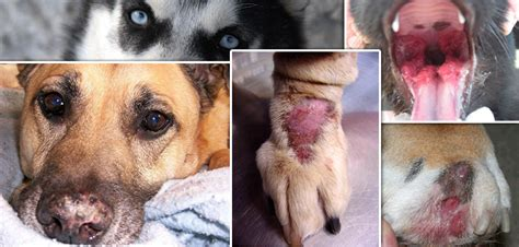 autoimmune diseases in dogs autoimmune diseases in pets causes symptoms and treatment vetsupply au