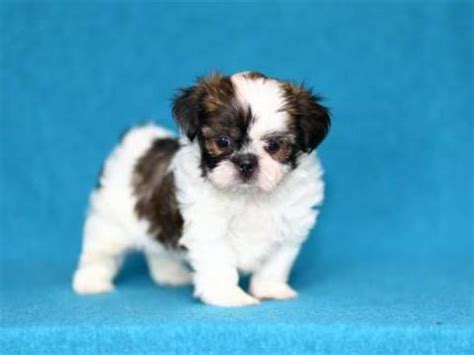 shih tzu puppies for sale indiana shih tzu puppies for sale indiana breeds picture