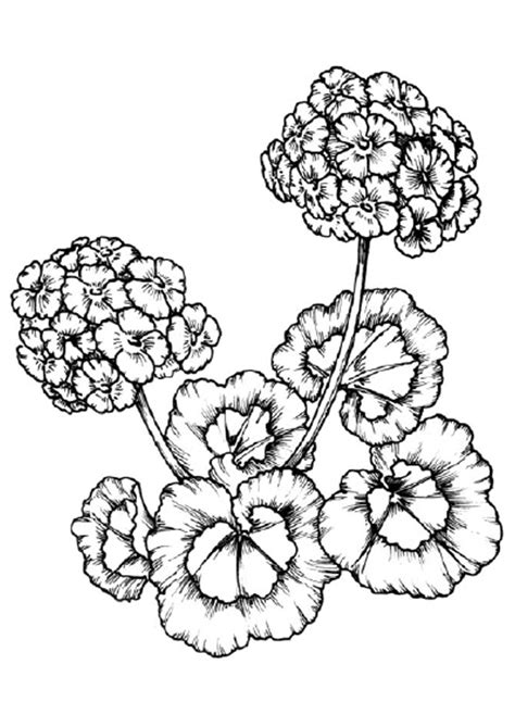 www coloring geranium coloring pages to and print for free
