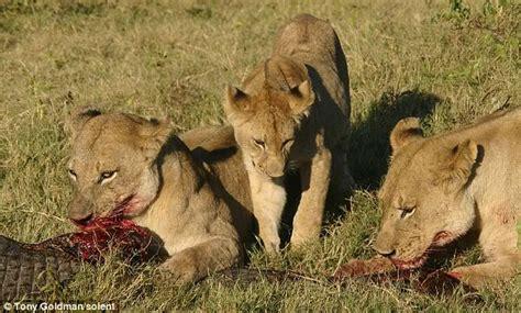 Banner Safari Hewan foto foto buaya tewas dicabik cabik setelah coba makan bayi singa mfachri