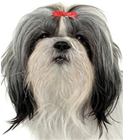 shih tzu pros and cons shih tzu small