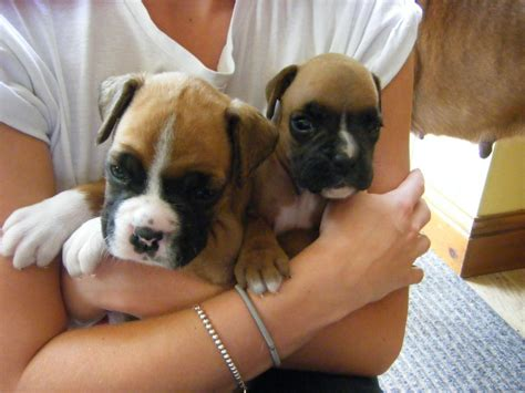 pics of boxer puppies and white boxer puppies for sale free engine image for user manual