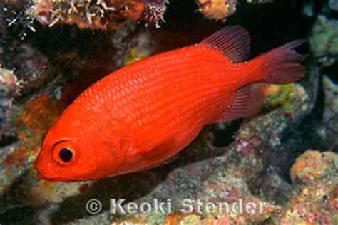rough scale soldierfish plectrypops lima