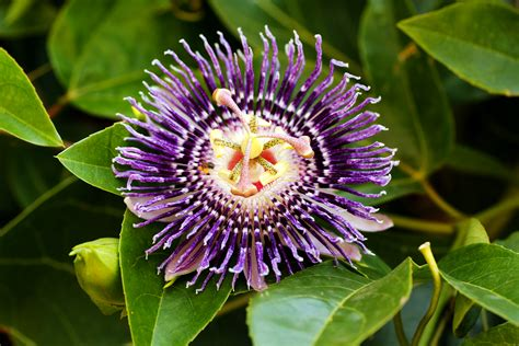 fruit flower 187 passionflower and passion fruit natural herbal remedy