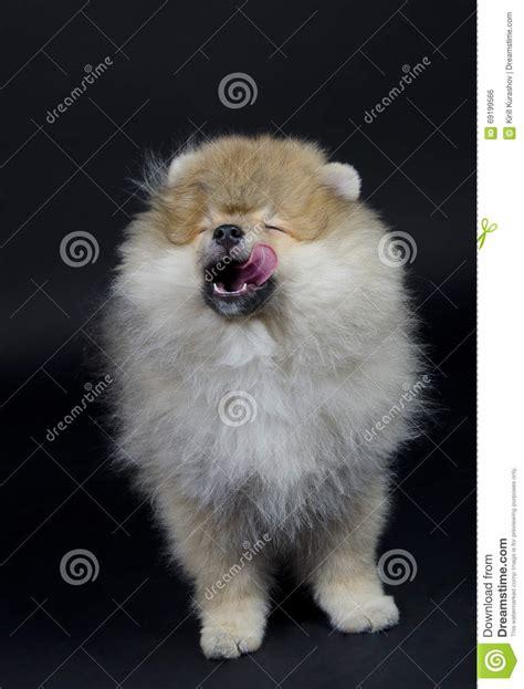 silly pomeranian pomeranian puppy stock photo image 69199566