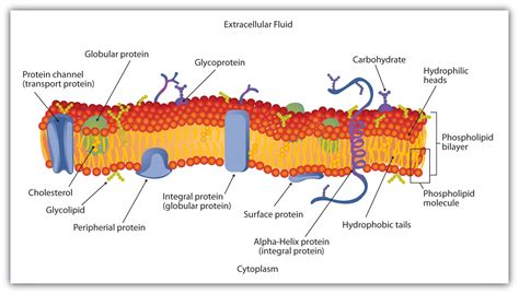 diagram of a cell membrane in the cell membrane plasma membrane phospholipid bilayer