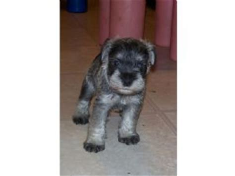 miniature schnauzer puppies for sale in tn miniature schnauzer puppies in tennessee