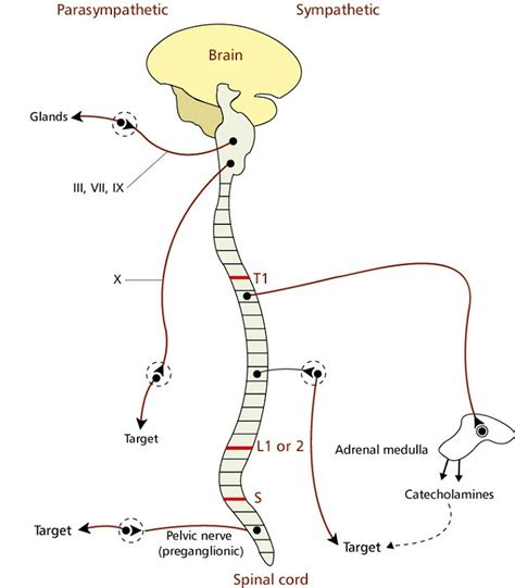 central nervous system diagram printable nervous system diagrams diagram site