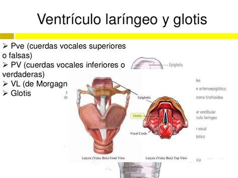 vestibulo laringeo laringe
