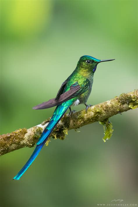 there are about 338 different species of hummingbirds an