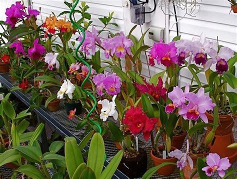 manutenzione orchidee in vaso orchidee cattleya orchidee orchidee cattleya appartamento