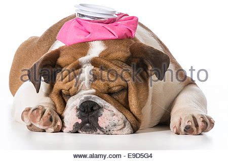 bed head pink bottle french bulldog dog with headache and hangover with ice bag or ice stock photo royalty