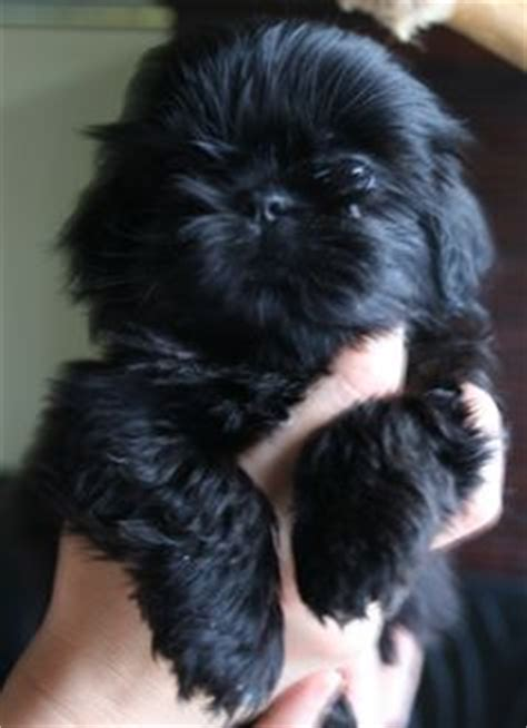 maltese shih tzu puppies ta 1000 images about shih tzu on shih tzu shih tzu puppy and shih tzus