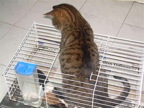 gatto in gabbia mingo tigrato