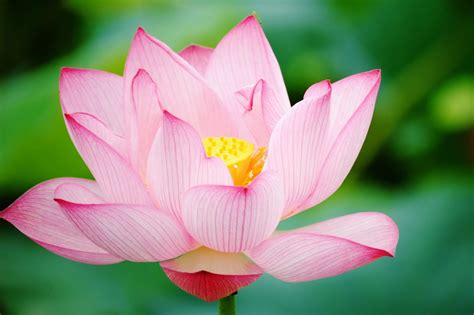 lotus flower lotus flower hd wallpapers hd wallpapers high