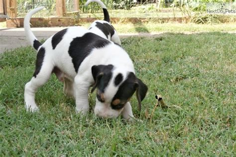treeing walker coonhound puppies treeing walker coonhounds and coon dogs for sale newhairstylesformen2014