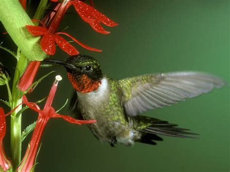 hummingbirds laughter is the best medicine