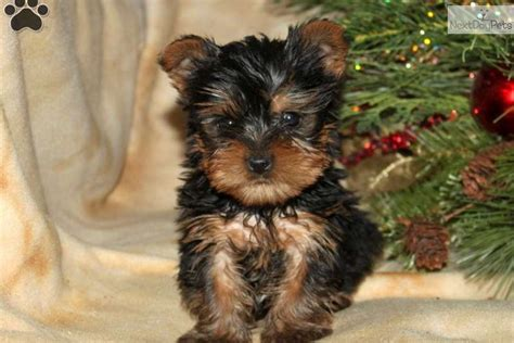 free yorkie puppies in raleigh nc brier yorkie puppies breeds picture